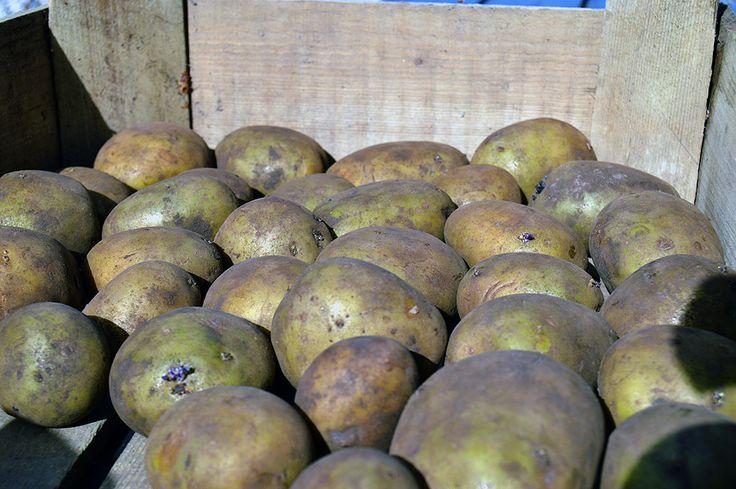Kartofler til spiring.