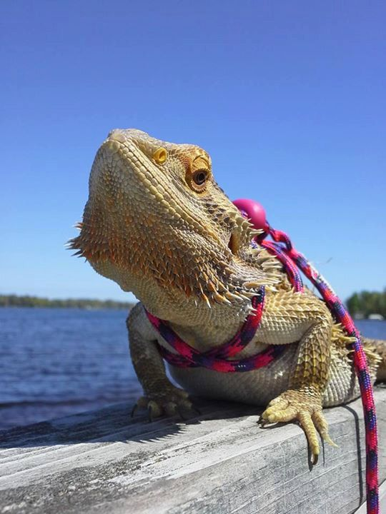 Reptile Bearded dragon Lizard leash not by BarbsCustomCrafts