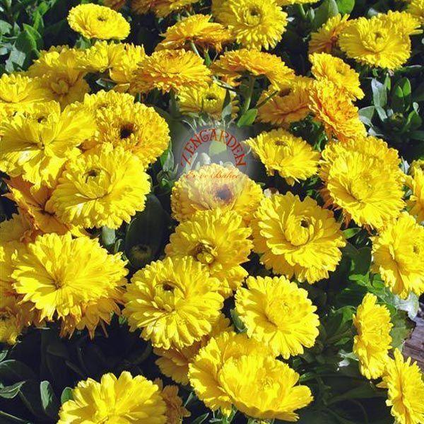 Kunzea Bonsai Baxteri | aynısafa bitkisi tohumu calendula bon bon yellow calendula bon bon ...