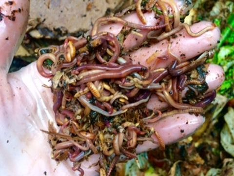 Composting Worms in 80 Gallon Compost Bin
