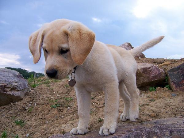 Nomes para cachorros labradores. Sabia que o labrador retriever é uma das raças caninas mais populares do mundo? Pelo menos, isso é o que indicam os dados referentes a exemplares registados. Dessa...