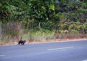 Uma lontra peludo-cheirado cruza uma estrada perto da floresta Manrove, ilha de Bintan, Indonésia.  A lontra peludo-cheirado (Lutra sumatrana) é uma das mais raras espécies de lontra.  Até 1998, ele foi pensado para ter sido extinto, mas pequenas populações foram descobertos desde então