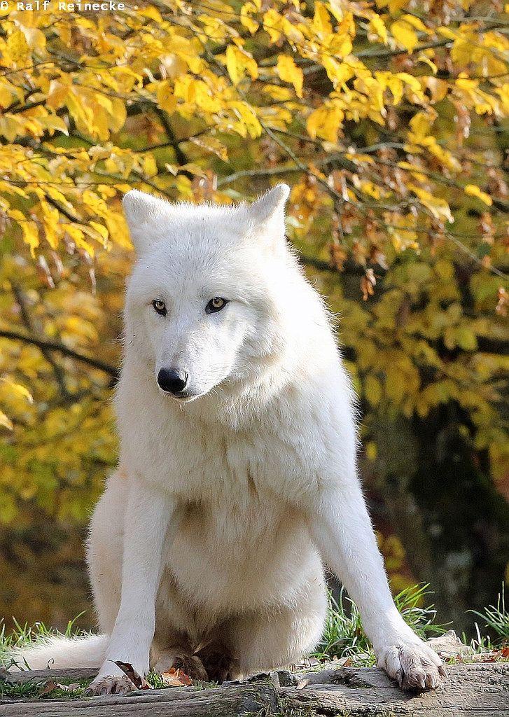 Arctic Wolf - Parc Animalier de Sainte-Croix October 2015 05 by reineckefoto**