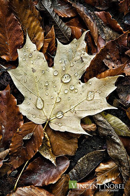 Light coloured maple leaf on darker leaves