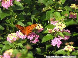 Longer blooming Lantana varieties