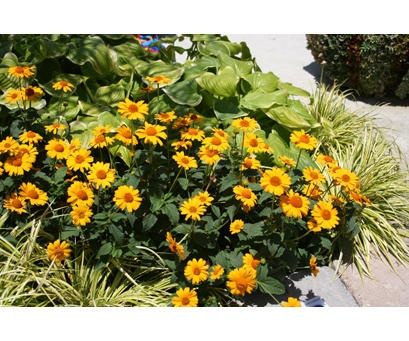 """Tuscan Sun Heliopsis (existing perennial).  Part sun to sun.  Summer. 12-20""""  Planted this is 2012.  ***looked gorgeous in 2013, a little floppy halfway through the summer of 2014.  Definitely need to cut back spring of 2015"""