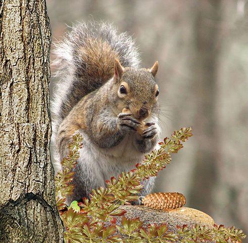 Eichhörnchen, Baum, Fressen, Nuss