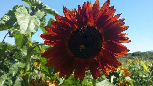 Een rode zonnebloem in Twello.
