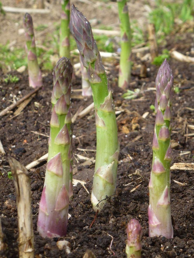 50 best jardinage images on pinterest gardening plants and growing vegetables - Comment planter des asperges ...