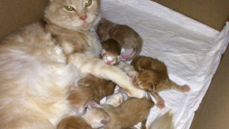 Mamma Gatta Maine Coon e i Suoi Gattini di 1 Giorno