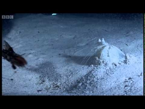 Mantis shrimp ambushing their prey with the force of a small-caliber bullet - BBC