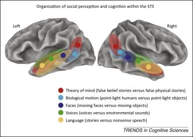 Social perception and cognition: Superior temporal sulcus