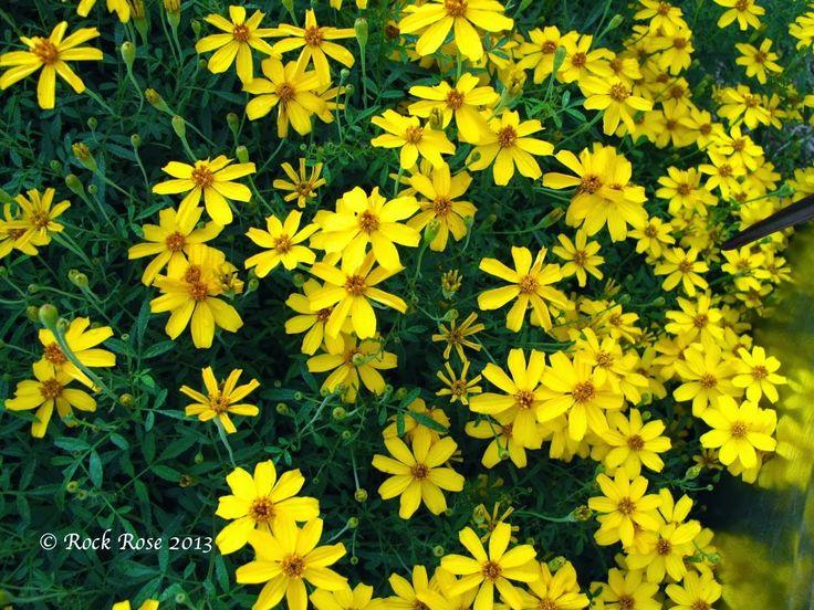 Blackfooted Daisy Full Sun