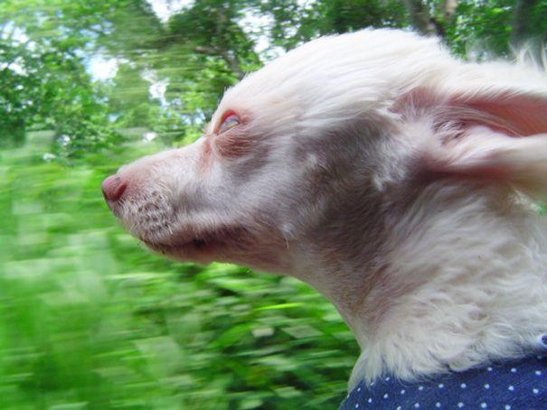 Смешные фото собак, которые высунулись из окна автомобиля на скорости