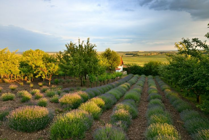 Lavender at Catherine's Vineyard Cottages in Csákberény, Hungary.