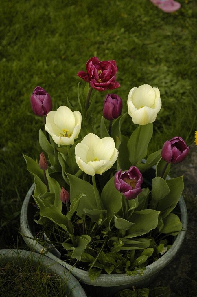 Eventually the weather will get cold and you will need to decide what to do with the tulip bulbs in containers that you have. Overwintering your tulip bulbs in containers is one option, and this article will help.