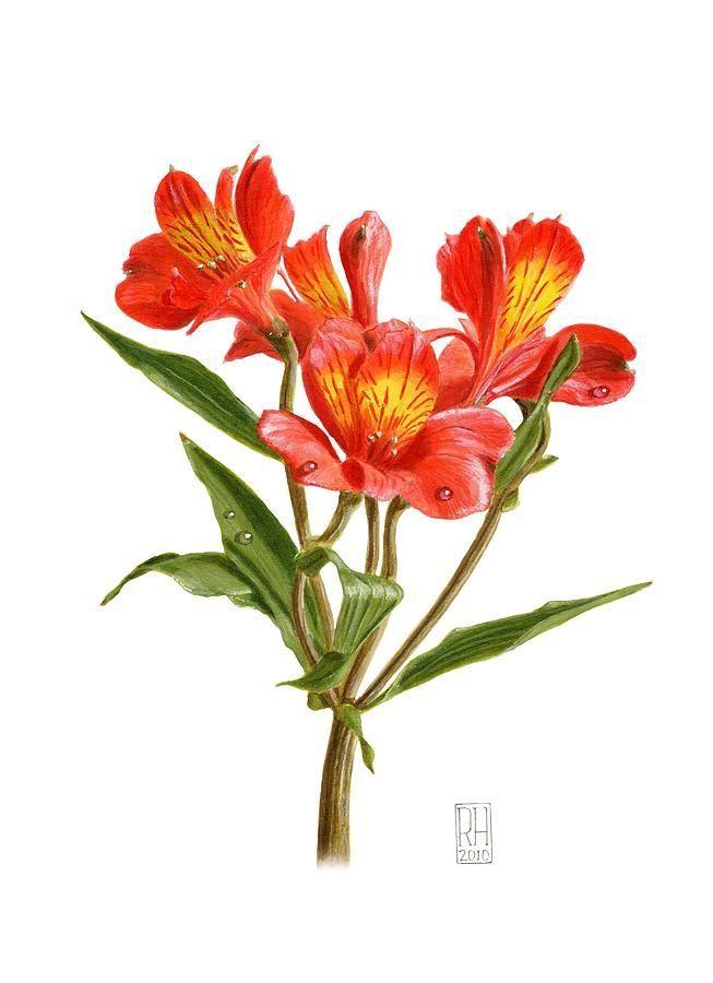 Alstroemeria Painting Alstroemeria By Richard Harpum Richard C Rossy Botanical Painting Flower Drawing Botanical Flowers