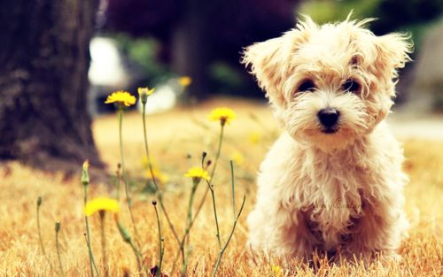 If you loved me...maybe for my birthday?: Little Puppies, Sweets, Small Dogs, Cutest Dogs, Teddy Bears, Pets, Fluffy Puppies, Little Dogs, Animal