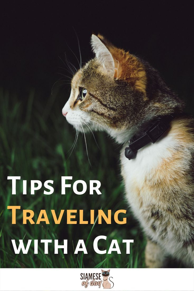 How To Travel With Your Cat In The Car Siamese Of Day Pet Care Cats Cats Cute Cats And Dogs