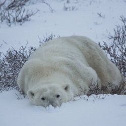 Polar Bear Habitat Revealed in Google 'Street View' Photos : Article from Discovery
