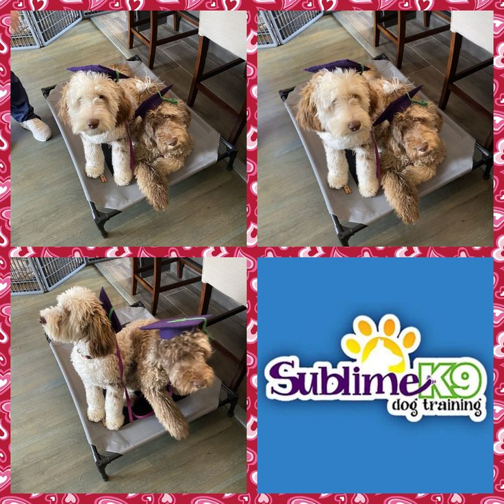 Long Island Dog Trainers Sublime K9 Dogs Therapy Dog Training