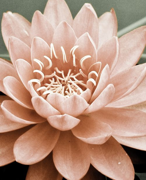 .Pink Flower, Lotus, Inspiration, Soft Pink, Beautiful, Pale Pink, Pretty Pastel, A Tattoo, Water Lilies