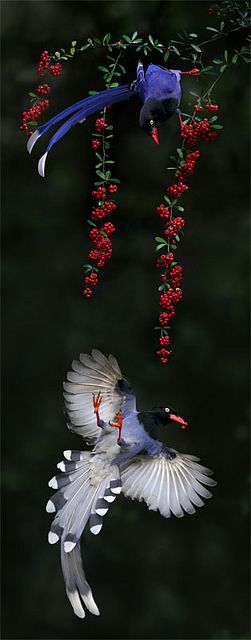 Taiwan Blue Magpie, taken at Waishuanghsi, Taipei City, Taiwan by John&Fish on Flickr