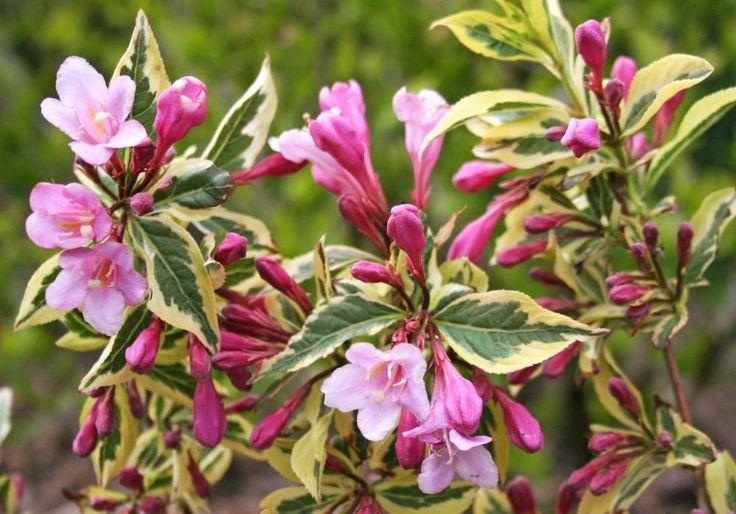 Weigelien sind beliebte Blütensträucher, werden aber mit den Jahren blühfaul. Hier erklären wir Ihnen, wie Sie die Gehölze schneiden müssen, damit sie dauerhaft schön bleiben.