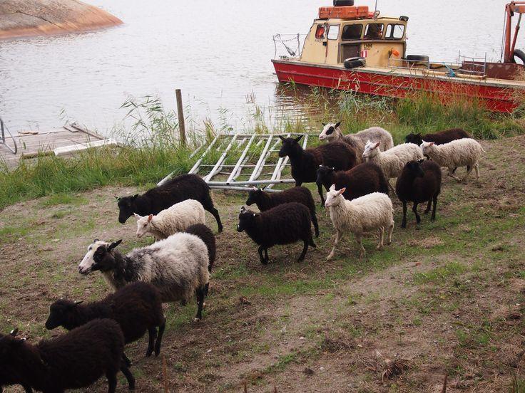 Bovikin luomutilalla Tammisaaressa lampaita kuljetetaan lossilla saarelta toiselle. Näin alueet eivät pusikoidu ja lampaat saavat tehdä osansa luonnon monimuotoisuuden hoidossa.