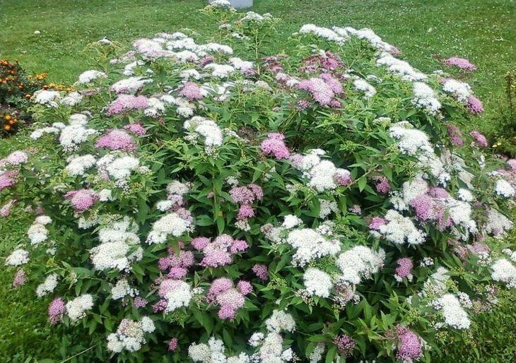 Красивые кусты для сада