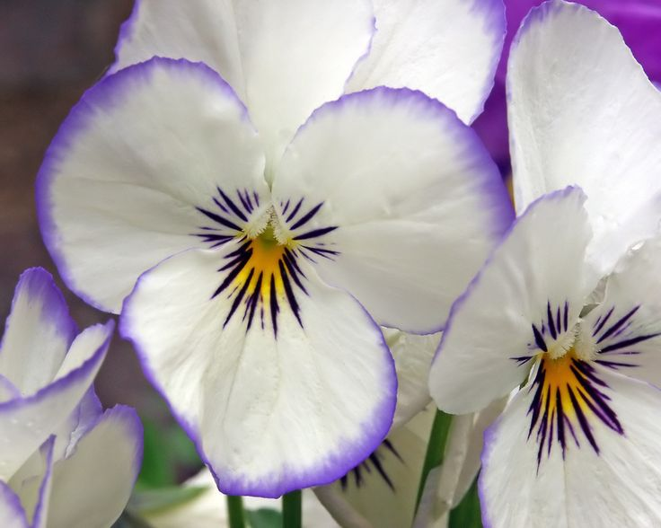 White with a touch of Purple