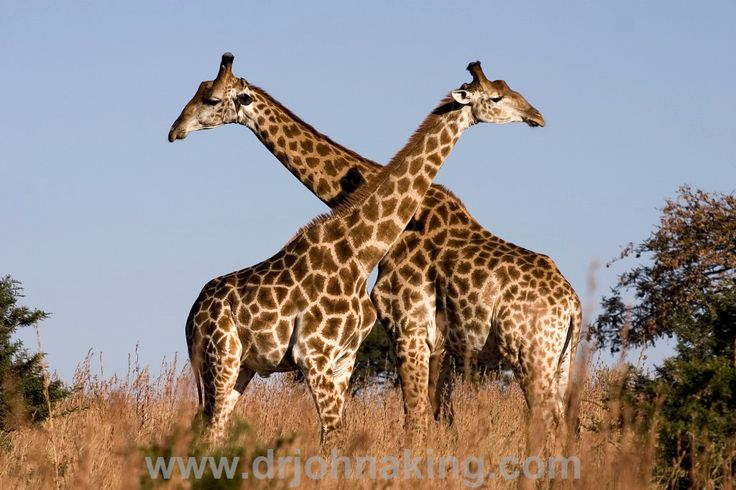 Leadership Lessons from Giraffe  This is a fascinating piece of leadership writing from the Nigerian Tribune. Be sure to click through to read the rest of the article. If we take the time to observe and reflect, we can learn some significant lessons from the animal kingdom all around us. Each species of animal has its own streng ..  #drjohnaking #leadership #lifeasleaders http://www.drjohnaking.com/leadership/leadership-lessons-giraffe/