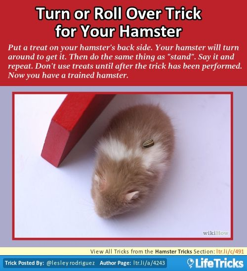 Hamster Tricks - Turn or Roll Over Trick for Your Hamster