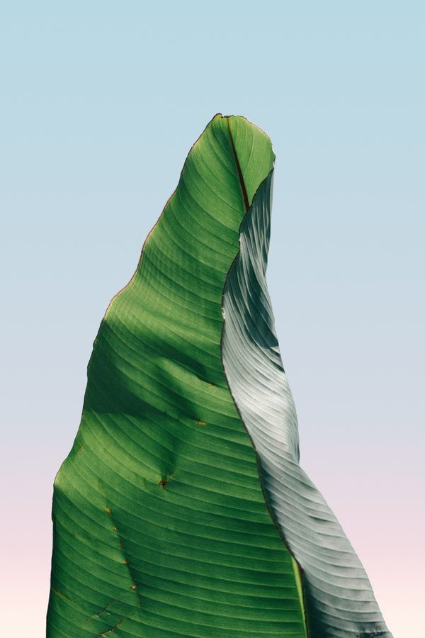 Banana Leaf In Close Up Photography Free Iphone Wallpaper Close