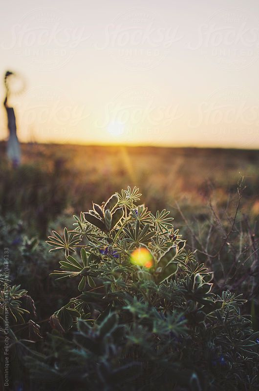 Sunsetting over lupin flowers by DominiqueFelicityPhotography | Stocksy United