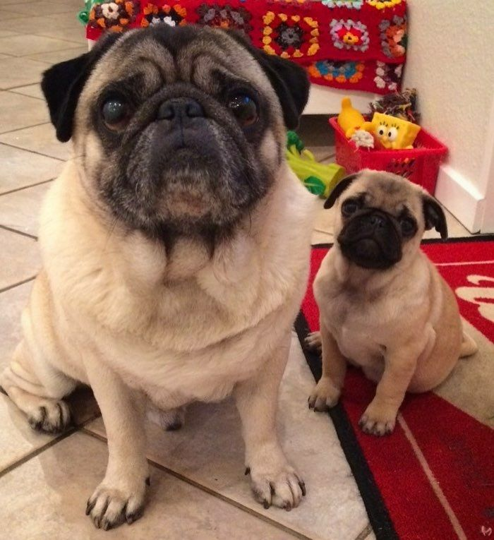"""Thank you to @ingolf_the_pug. ==) """"Wen i was little i have a big brother and i loved him so much❤️(Rip Anton)"""" ~ ~ ~ #mybigbrother #adorableanimals #pugpuppiesofinstagram #pugclip #pugsmile #mopsliebe #pugloversofinsta #cutenessoverload #picoftheday #pugs #mops #puglife #puglove #pugaholic #pugsofinsta #pugofig #carlino #hermoso"""