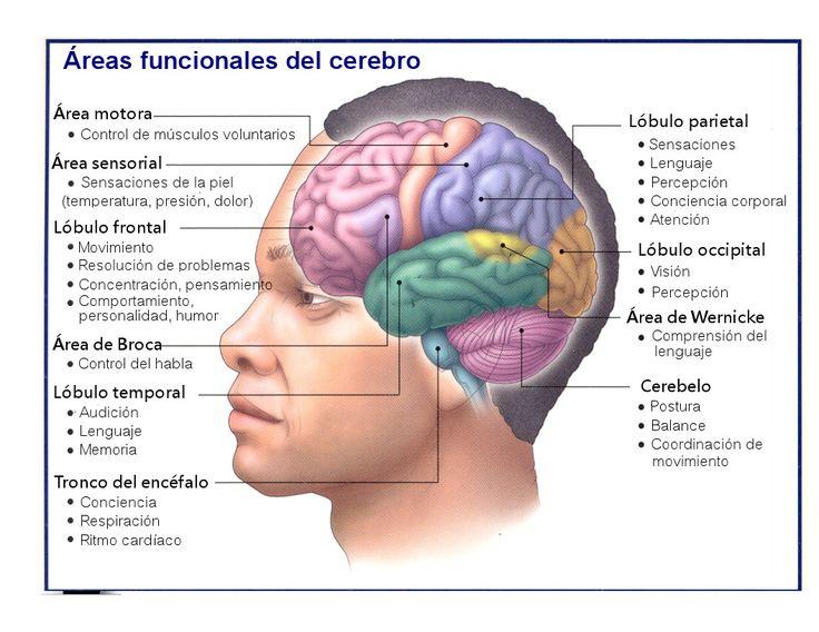Funciones de cada parte del cerebro