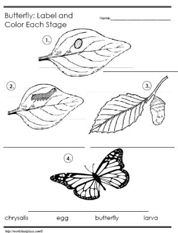 butterfly life cycle label the stages flowers insects pinterest language teaching and. Black Bedroom Furniture Sets. Home Design Ideas