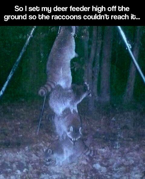 Raccoons are ridiculously smart…