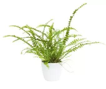 button fern, button ferns, caring for button fern