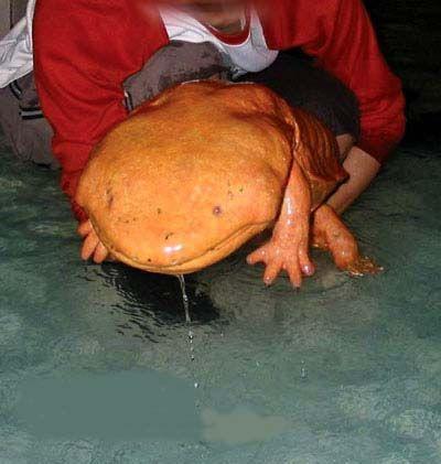 Chinese giant salamander (Andrias davidianus) eep!
