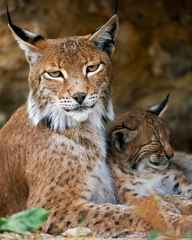 LYNX PARDELLE (Lynx pardinus)... Lynx ibérique... Lynx d