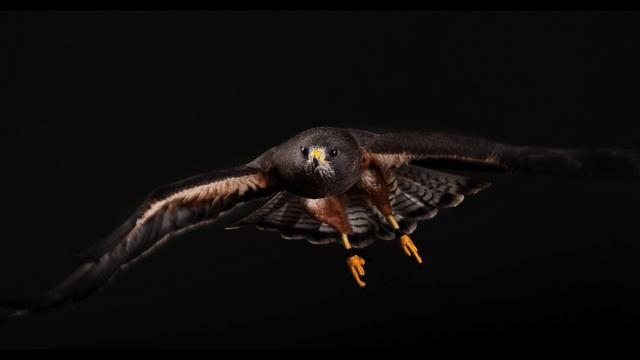 Awesome Photo shoot video of Raptors. Sparrow Hawk at the end is gorgeous!  Cascades Raptor Center by Jon Meyers. This is behind the scenes footage from our photo shoot with the Cascades Raptor Center in my Eugene, Oregon studio.