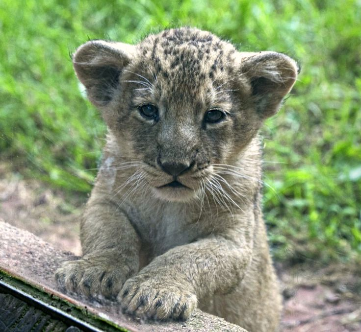Rare Lions Cubs are the Pride of Paignton Zoo