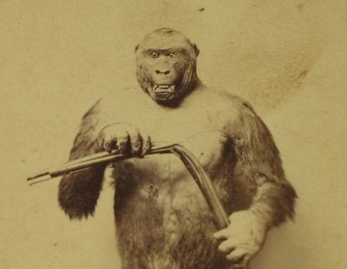 """""""This stuffed specimen of the Troglodytes Gorilla...was killed near the Gaboon River, in Africa, in the Spring of 1862...The attitude in which he is placed is taken from Du Chaillu's Book of Travels, representing the appearance of one that killed his hunter, whose gun missed fire when endeavoring to shoot the Gorilla. In his rage he killed the hunter with one blow upon his bowels, bent his gun with his hands, and bit thee gun barrel so hard as to leave marks of his teeth upon it."""""""
