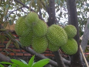 All About Benefit  Durian (The King Of Fruits) For Your Health