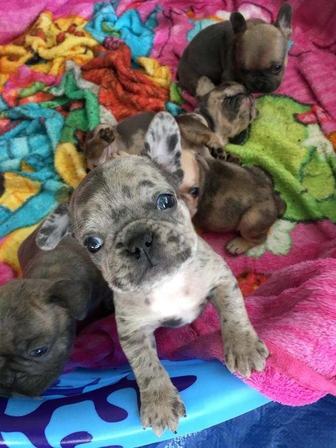 3 Babies Left French Bulldog Puppies