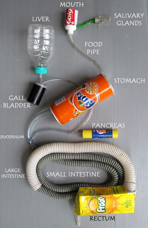 A&P 2 digestive system project
