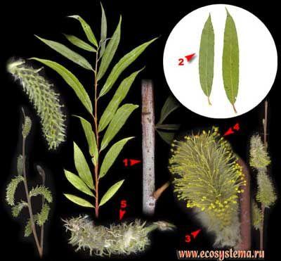 Ива остролистная, или верба, красная верба, шелюга красная, краснотал, верболоз — Salix acutifolia Willd.