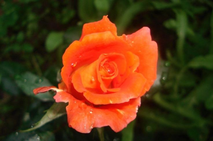 Monica Rose – Catalog rose types and rose varieties